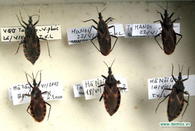 Các loại bọ xít hút máu người