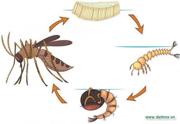 Vòng đời sinh sản cảu loài muỗi
