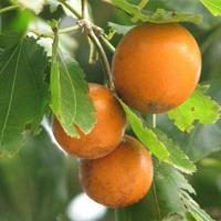 Quả mã tiền có hình dáng giống quả cam nhưng cực độc