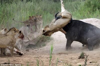Trận chiến sinh tử giữa sư tử và trâu rừng